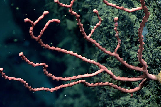 deep-sea bubblegum coral 1620x1080 Okeanos OER.jpg
