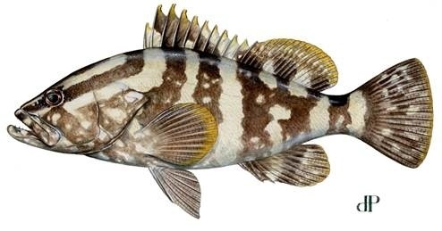 nassau grouper_narrow.jpg