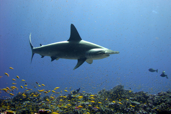 A scalloped hammerhead shark swims over a coral reef.