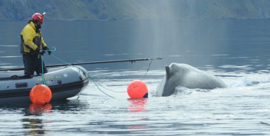 NOAA Fisheries' John Moran reaches with a pole to cut a line entangling a humpback whale in Dutch Harbor