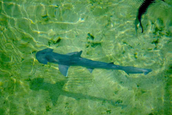 Bonnethead shark swimming in clear shallow water where you can see its shovel-shaped head