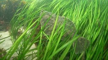 Flounder in eelgrass_block.jpg
