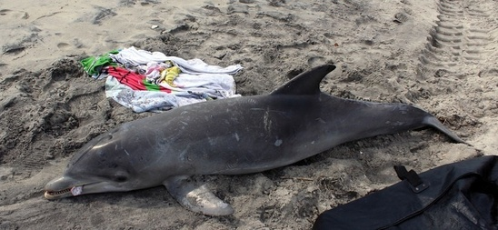 Bottlenose dolphin stranding in NJ.