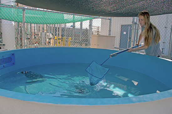 Intern student cleaning tank for rehab turtles.