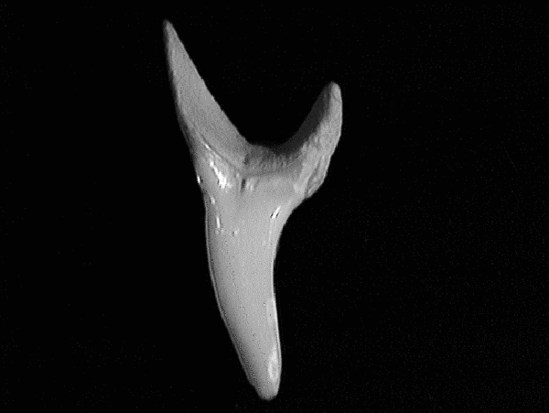 Single shortfin mako tooth showing smooth, stout, slightly hooked, slender triangular shape on a curved base.
