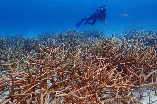 Diver swims over a restored coral reef