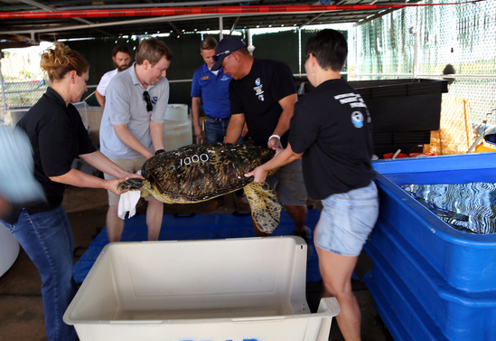 NOAA team and partners carefully transfer the turtle to be released