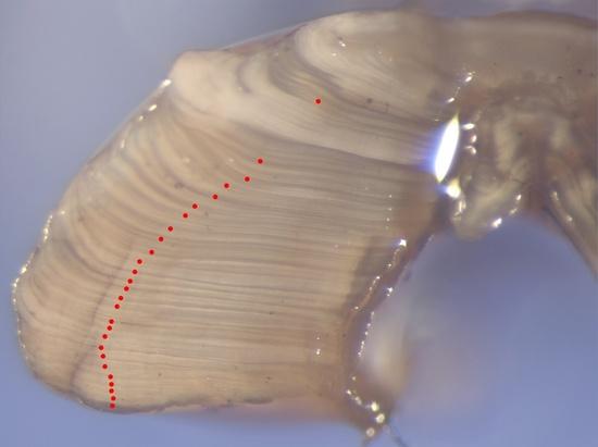 otolith-sablefish-27-years-old-NOAA-NWFSC.jpg