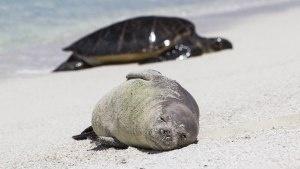 300x169_monkseal_turtle.jpg