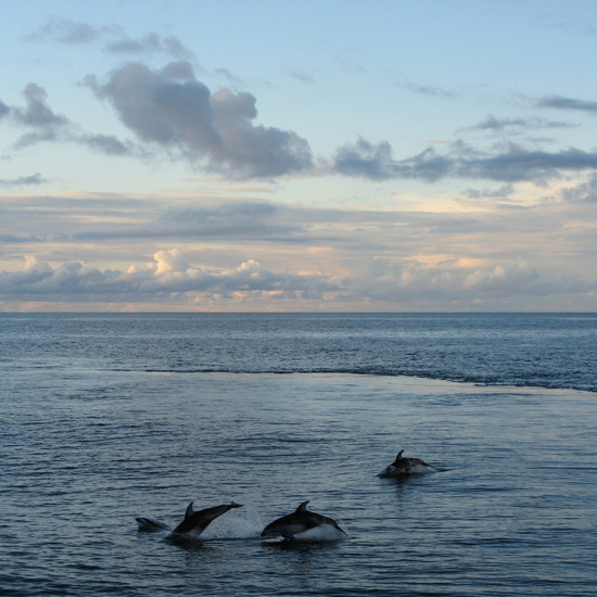 Dolphins cavorting off the Miller Freeman on a beautiful afternoon in the Pacific Ocean