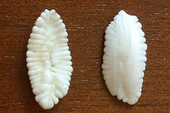 cod-otolith.png