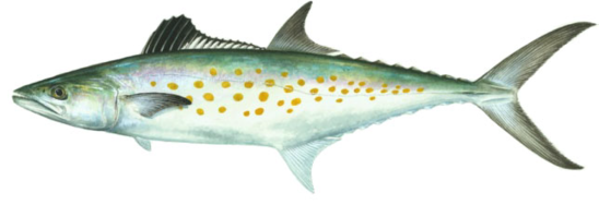 image of spanish mackerel