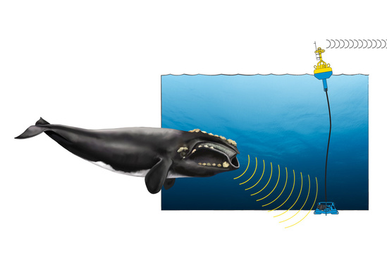 Illustration showing right whale interacting with acoustic buoy.