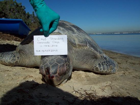 A stranded green turtle in San Diego County. Photo: NOAA Fisheries/Garrett Lemons