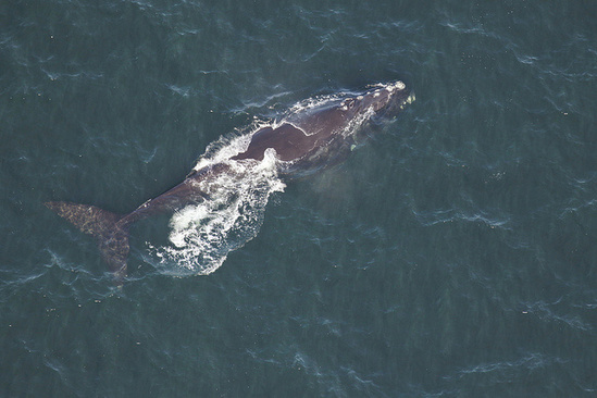Right whale Magnet swims off Tybee Island.jpg