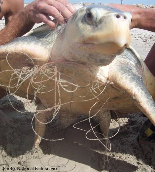Kemp's ridley sea turtle entangled in fishing line.