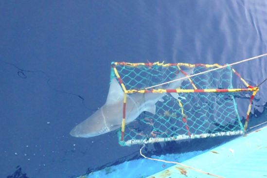 sandbar shark released after tagging by lisa natanson