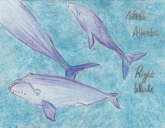 HM 9-12 2-D_ Laura S., grade 12, MA, _North Atlantic Right Whale_.jpeg