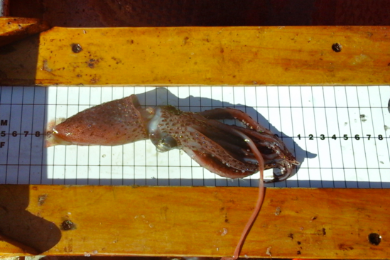 Squid on measuring board.
