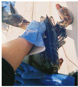Lobster being measured