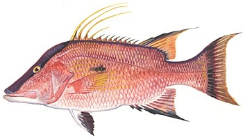 fish-hogfish-image.jpg