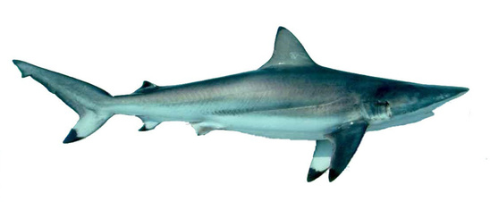 Spinner shark viewed from the side showing the dark black tipped pectoral, dorsal, anal, and caudal fins.