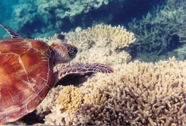 Image of a sea turtle and coral