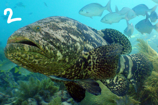 goliath grouper-noaa-fknms.jpg