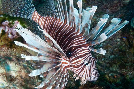 Lionfish swimming in Flower Garden Banks National Marine Sanctuary.