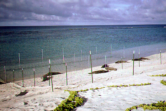 Adult male monk seals on beach in holding pens.