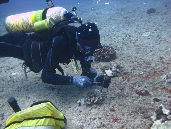 A NOAA scientific diver swaps out a calcification accretion unit to measure coral growth.