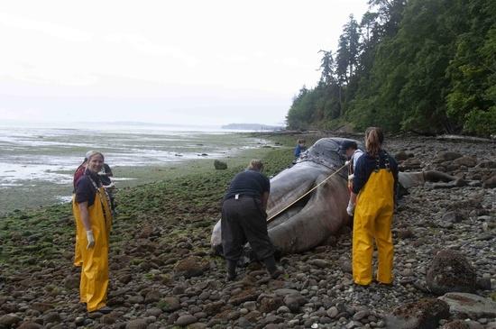 graywhalemeasure graywhalecarcass - reduced.jpg