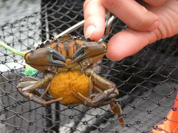 Invasive green crab, Vancouver Island, British Columbia, Canada