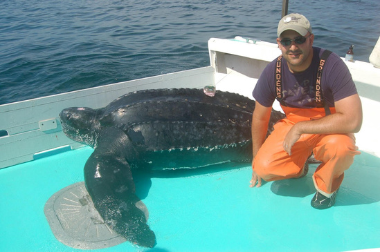 Leatherback turtle on deck with Vincent Saba.