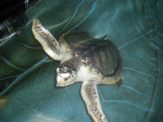 a Kemp's ridley turtle swimming in an aquarium tank