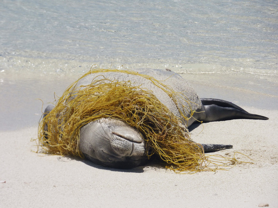 Hawaiian monk seal rests on the beach entangled in a derelict fishing net