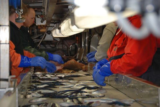 Scientific crew sorts fish catch as it moves down a conveyor belt