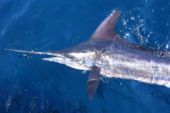 Billfish in water
