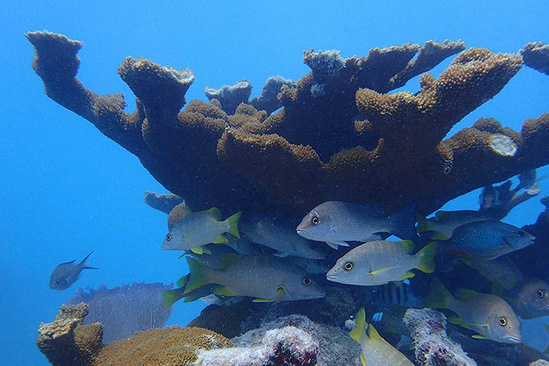 An elkhorn coral with parrotfish beneath it