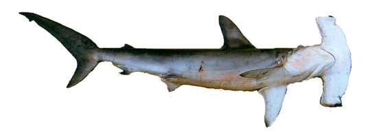 Side view of a smooth hammerhead shark also showing the underside of its curved hammer shaped head with no indentation in the center of the hammer and the eyes barely visible on the tips of each side of the hammer.
