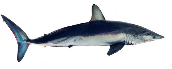 Shortfin mako shark side view showing color gradient on side of deep blue, to iridescent light blue, to white going from top to bottom.