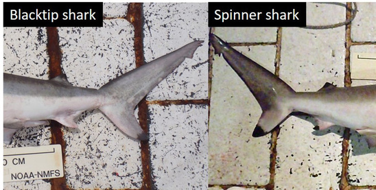 Lateral view of the blacktip and spinner shark tail regions with the caudle fins facing each other. The black-tipped second dorsal and lower lobe of the caudle fin is visible on both the blacktip and spinner shark tail regions, but only a black-tipped anal fin is present on the spinner shark