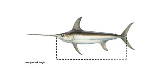 Lower-jaw fork length_swordfish.png