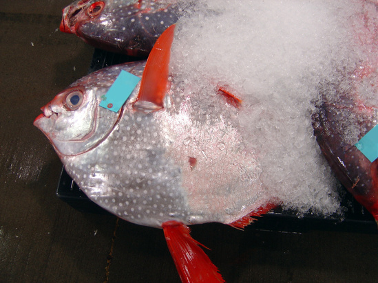 1280x960-Auction-Opah-Justin.Hospital.jpg