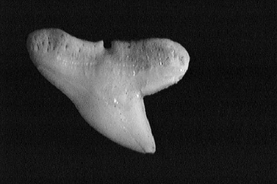 Single smooth hammerhead shark tooth showing its smooth, broad, oblique triangular shape.