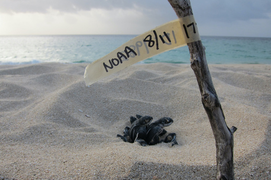 Leatherback turtle nest with hatchings. Photo: NOAA Fisheries