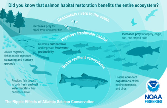 "This image is depicted in green colors and illustrates the science behind salmon conservation. It highlights examples of the ""ripple effects"" and benefits for the environment with an illustration of expanding circles over a river connected to the ocean with an Atlantic salmon at the center. The salmon swims downstream to the right surrounded by a healthy ecosystem represented by fish eggs, smaller salmon, lamprey, dragonflies, an eel, and schooling rainbow smelt and river herring. In the background is an osprey and bald eagle to show the return of predators to a healthy ecosystem."