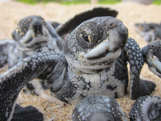 Leatherback hatchlings-rest-at-surface-of-sand.jpg