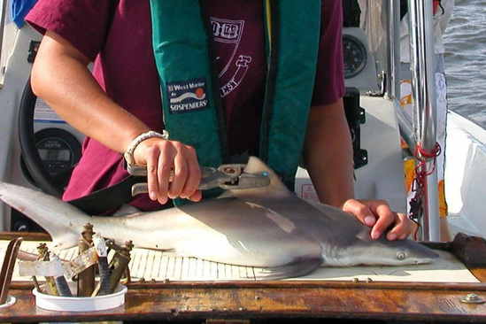 Biologist using a hand-held tag applicator to put  a small fin tag in the first dorsal fin of a sandbar shark pup.