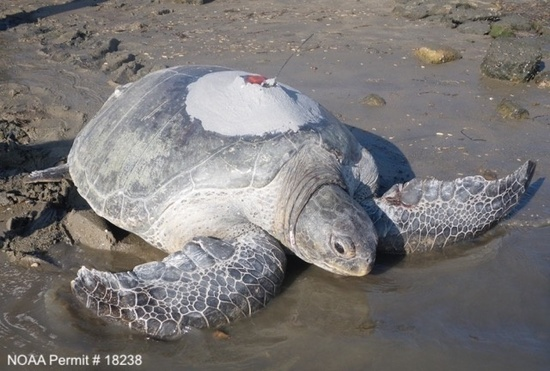 Adult female green turtle in San Diego Bay equipped with a GPS satellite tag. Photo: NOAA Fisheries/J. Seminoff
